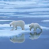 Orsi polare sulla banchisa